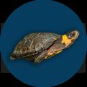 State Symbols - Bog Turtle